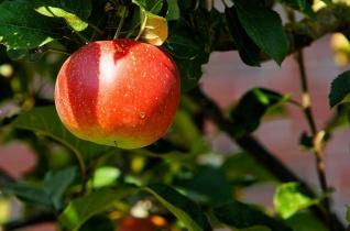 Miért éppen az alma lett a tiltott gyümölcs?